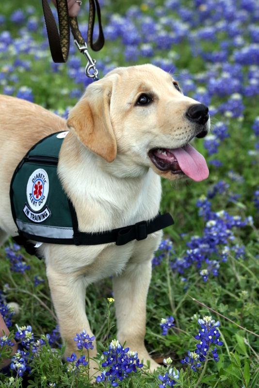 the effectiveness of diabetic alert dogs The use of trained dogs to alert to changes in blood glucose in human  companions with diabetes is increasing, yet their effectiveness is largely.