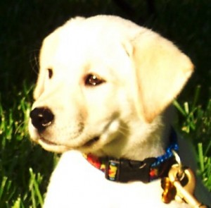Why Health Testing is Important | Brooks Legacy Labradors